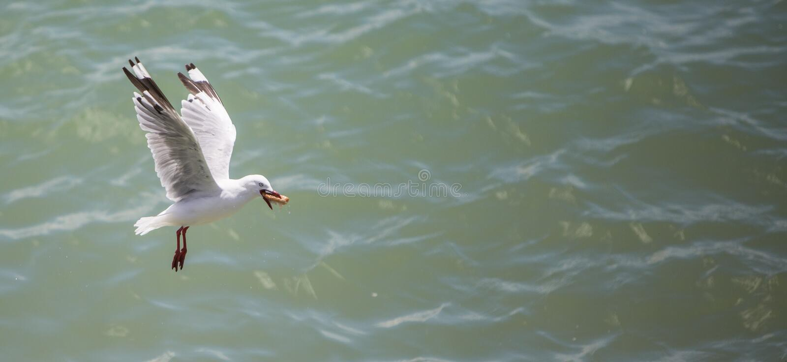 Seagull in Flight with Food royalty free stock photo