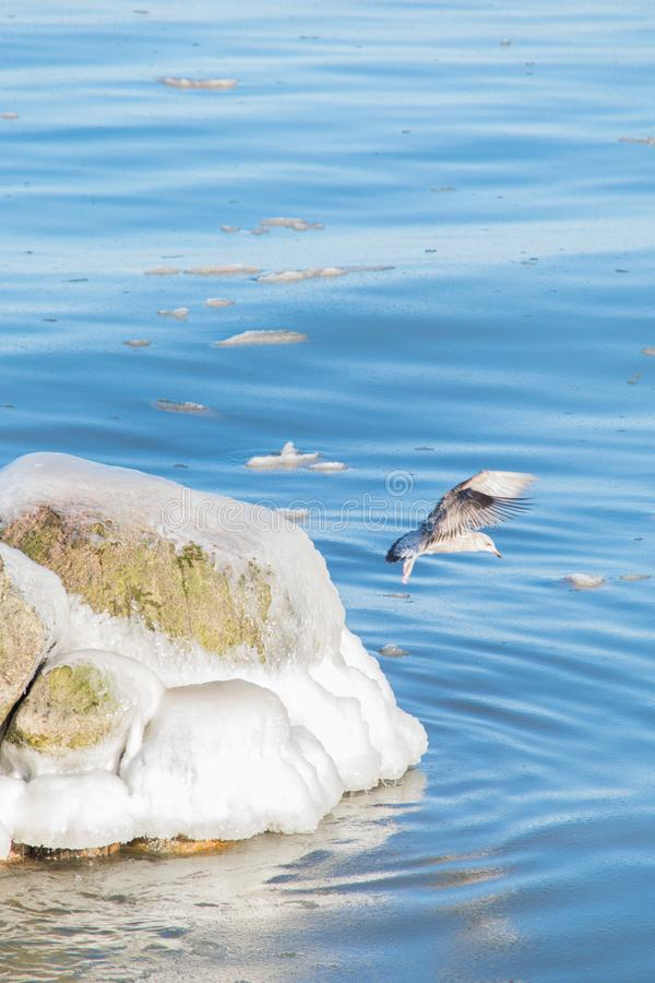 Seagull in flight by the icy stone royalty free stock photos