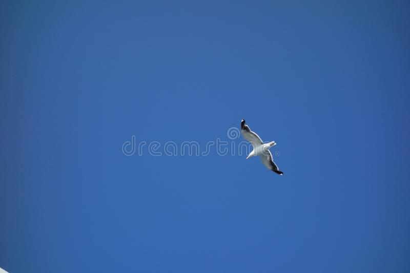 Seagull in Flight. An image of a seagull flying over head in a clear blue sky. This gull was hovering over head with its wings out extended gliding along in the stock photos