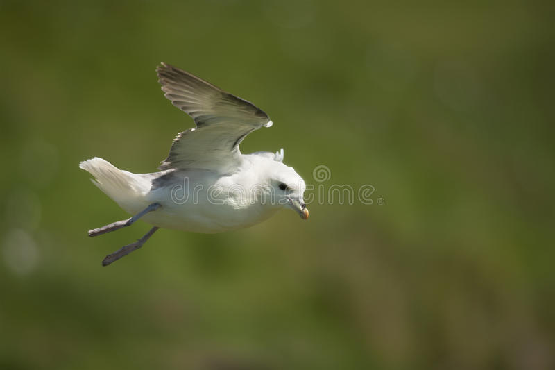 Download Seagull in flight, Mykines stock image. Image of animal - 21311951