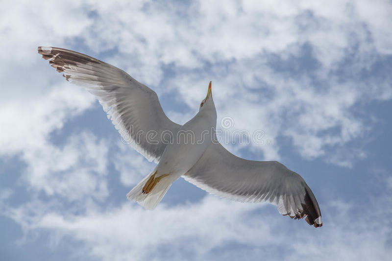 Seagull in flight with outstretched wings royalty free stock photos