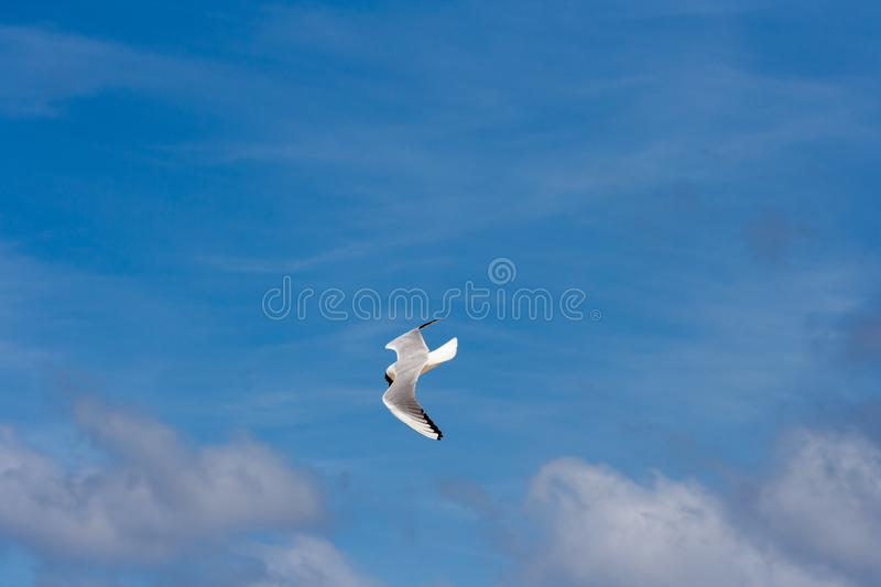 Seagull in flight over the beach in Cuxhaven, Germany. Flying white bird in the air on the blue sky royalty free stock photo