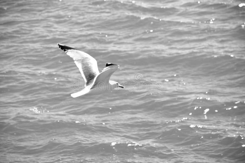 SEAGULL IN FLIGHT FLIGHT OVER THE SEA stock photography