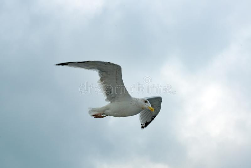 Seagull flying on cloudy day by the sea, Seagull in overcast sky royalty free stock photos
