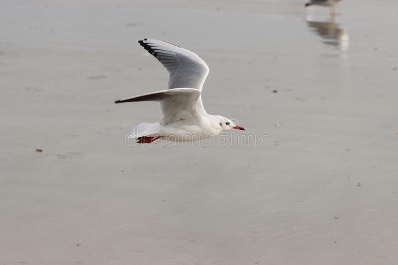 Seagull in flight by the sea royalty free stock image
