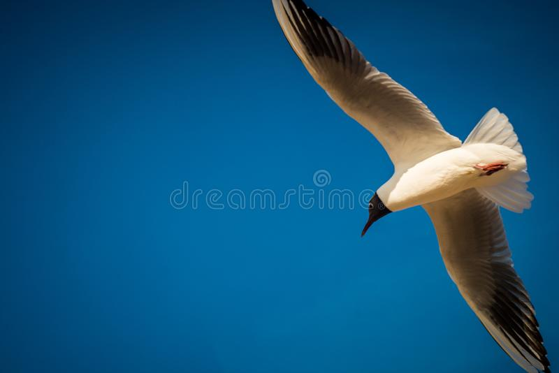 Seagull flight stock photos