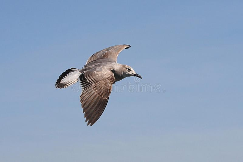 Seagull in flight with spread wings stock photo