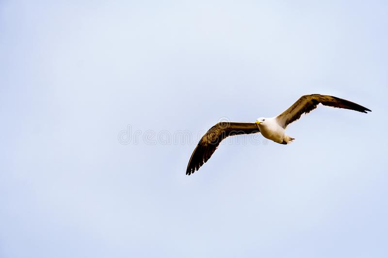 Seagull in flight at Strandfontein beach on Baden Powell Drive between Macassar and Muizenberg near Cape Town royalty free stock photo