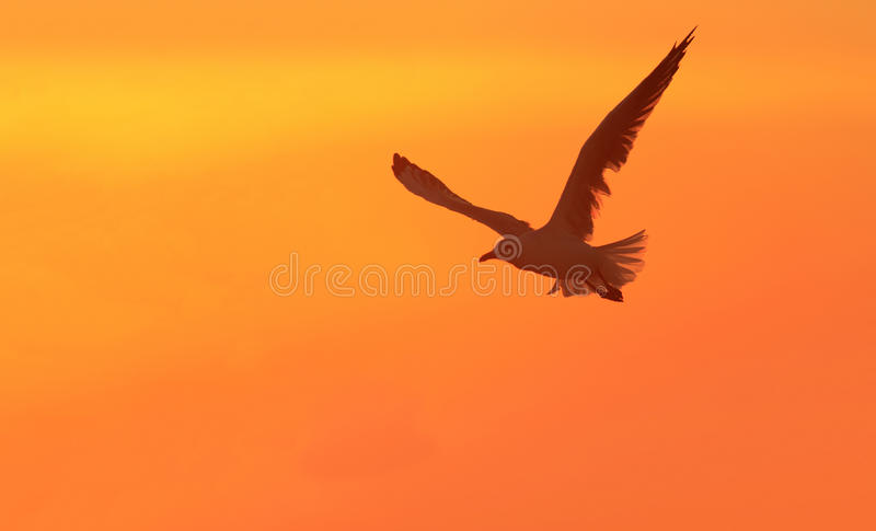 Seagull in flight at sunset with copy space royalty free stock image