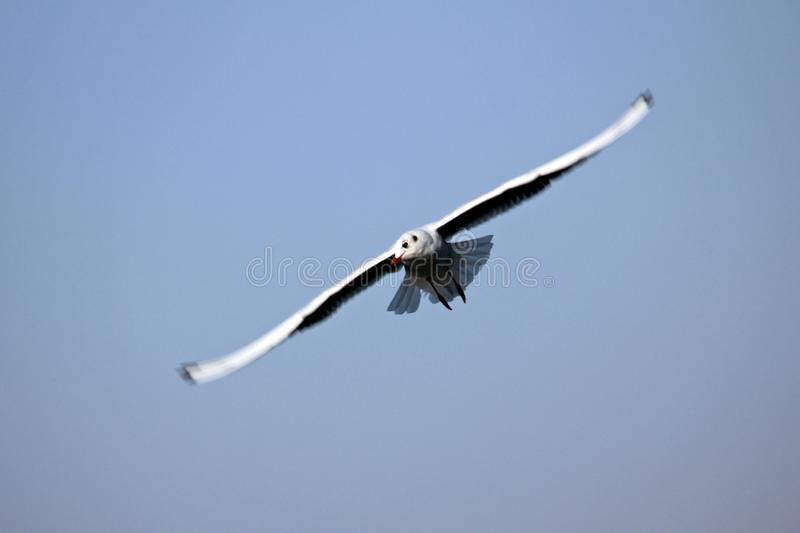 Seagull in flight stock image