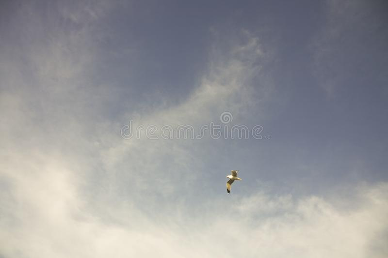 Seagull in Flight Wings Up. Seagull in flight mid sky, both wings up. Lamp posts in the distance stock photos