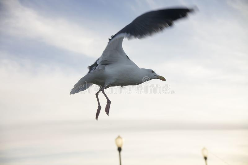 Seagull in Flight Wings Up. Seagull in flight mid sky, both wings up. Lamp posts in the distance stock images