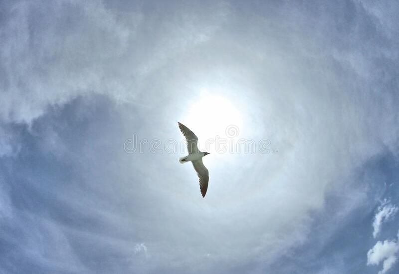 Seagull and Sky. A seagull floating in a blue sky with wispy white clouds. The gull is outlined by the sun royalty free stock photography