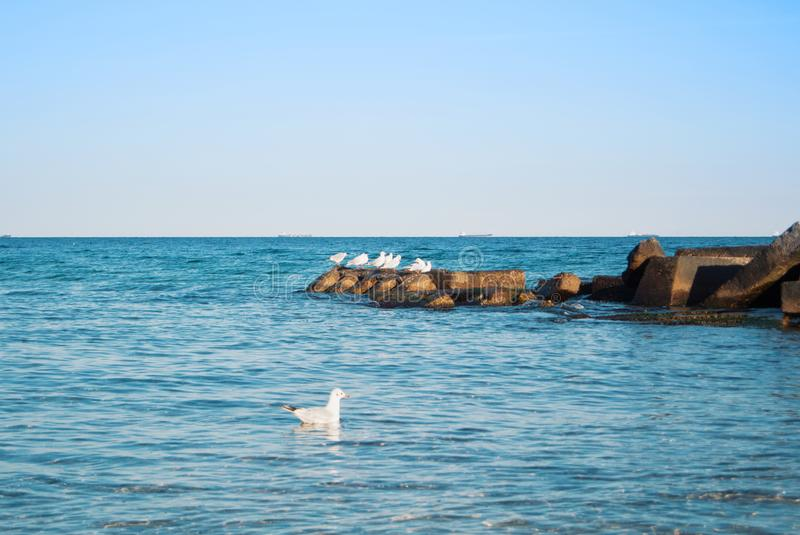 A seagull floating on blue transparent waves of the sea lake ocean near the pier and old rusty stones with a group of seagulls in. The evening sunlight royalty free stock photography