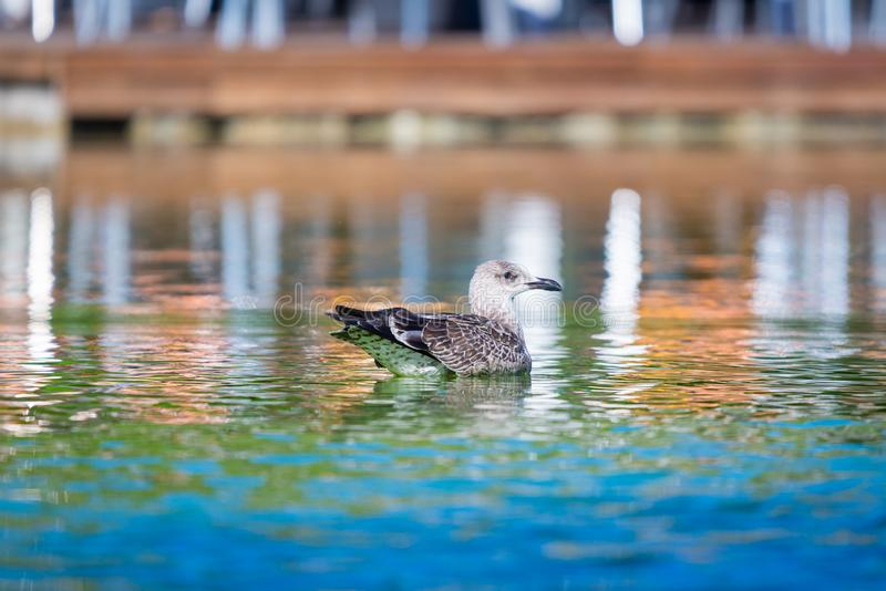 Seagull floating on a fresh water pond.  stock image
