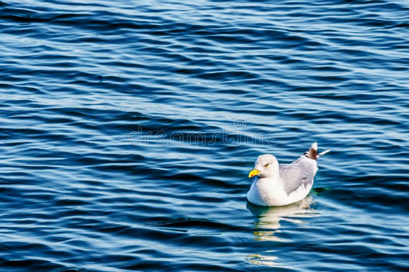 Seagull floating on the Oosterschelde at Neeltje Jans island in Zeeland. Province in the Netherlands royalty free stock images
