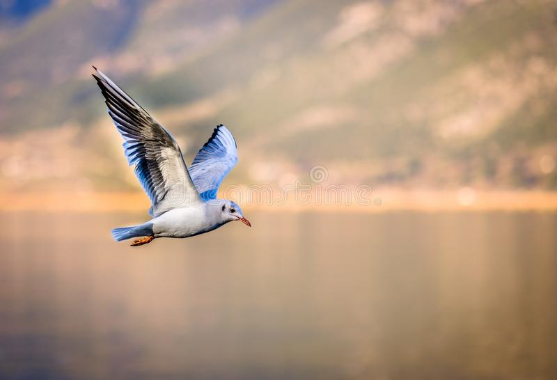Seagull fly bird. Great Flying Seagull Against Sky , shot of flying Seagull, animals birds, flying gulls, seagulls water, photo of bird, wing sky, seabird stock images