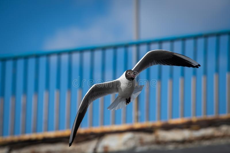 Seagull fly blue sky background city life. Spring time stock images
