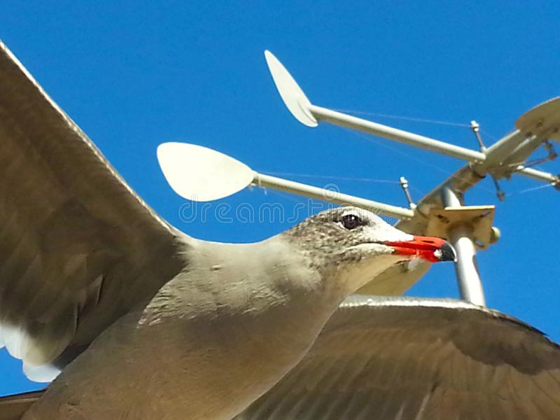 Seagull fly blue sky wings open soaring against blue sky weather vane royalty free stock photography