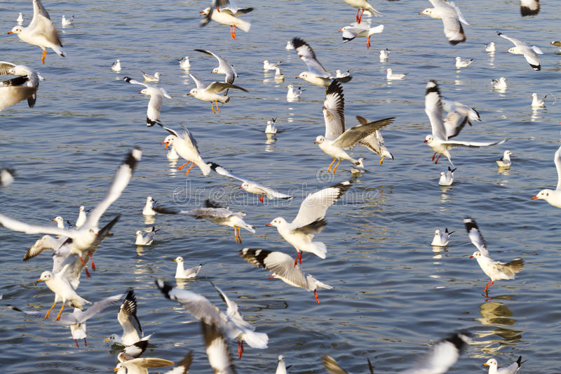Seagull fly in water royalty free stock photos