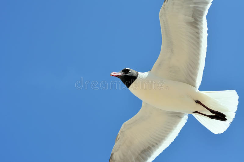 Download Seagull flying stock photo. Image of gull, laughing, blue - 14419926