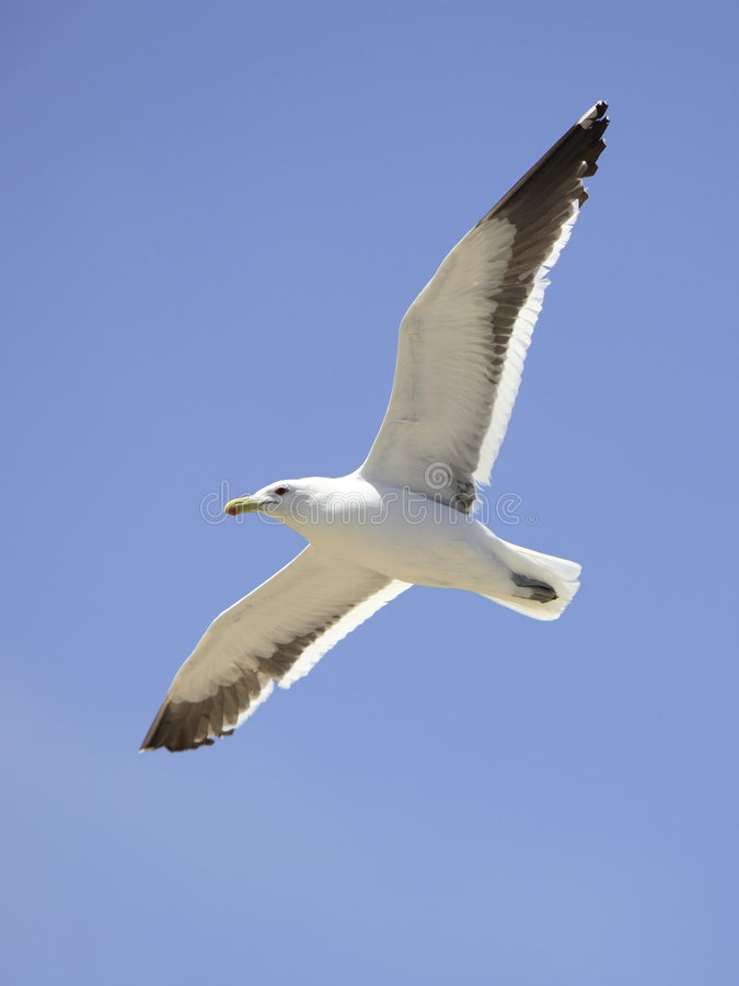 Free Seagull Flying Stock Photos - 1760763