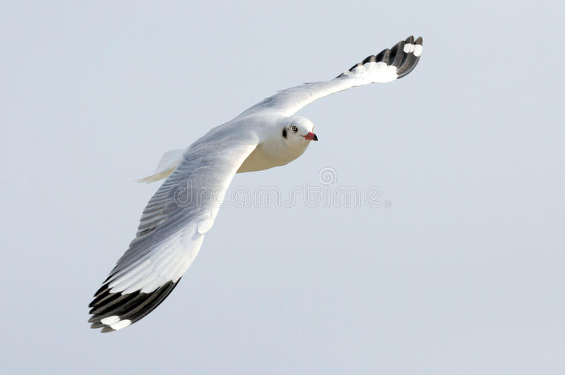Download Seagull flying stock image. Image of nature, sunset, white - 23505575