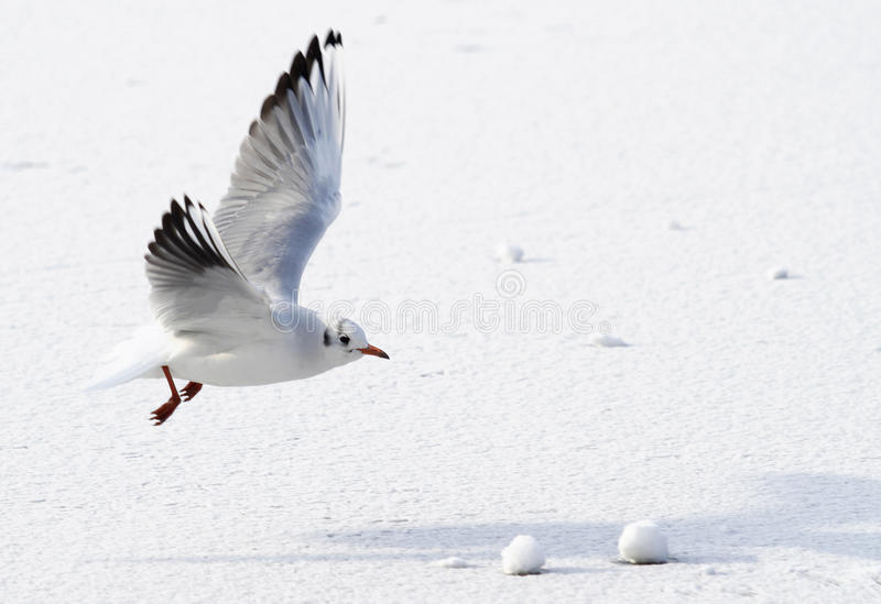 Seagull flying above frozen sea. A white seagull is flying above ice frozen water of the sea in the winter