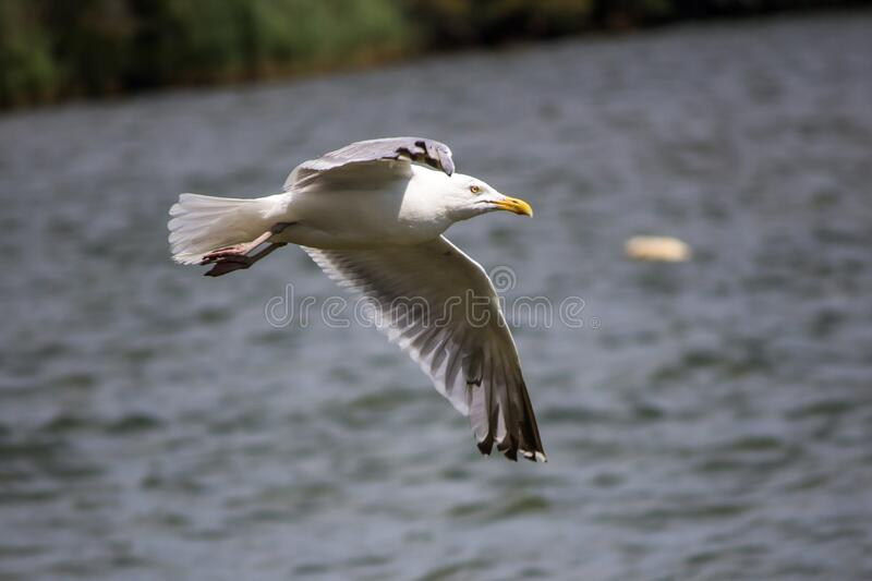 Seagull Flying Above The Sea During Day Time Free Public Domain Cc0 Image