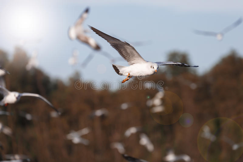 Seagull flying in the air. Focus on one seagull in a big group which flying near the beach tree as blurry background stock photo