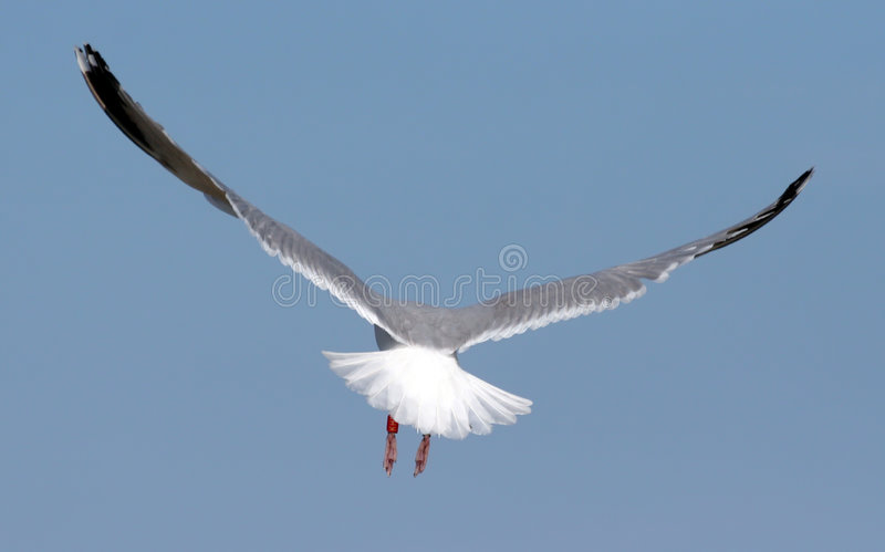 Seagull Flying Away royalty free stock images