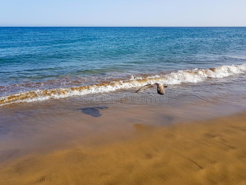 seagull is flying on the beach of Los Pocillos almost flush with the water of the Atlantic Ocean in Lanzarote, Canary Islands, royalty free stock photos