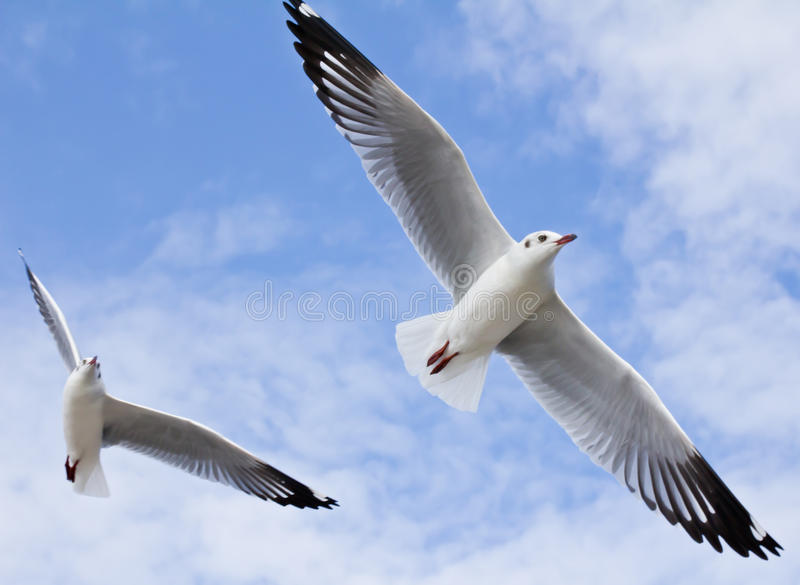Seagull flying on the blue sky. And cloud stock images