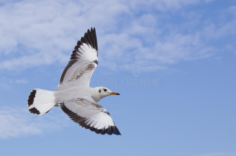 Seagull flying on the blue sky. And cloud royalty free stock photography