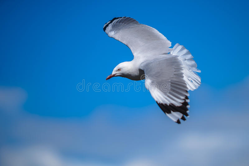 Seagull flying in blue sky stock images