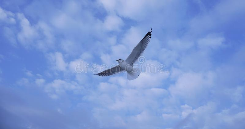 A seagull is flying on the blue sky stock photo