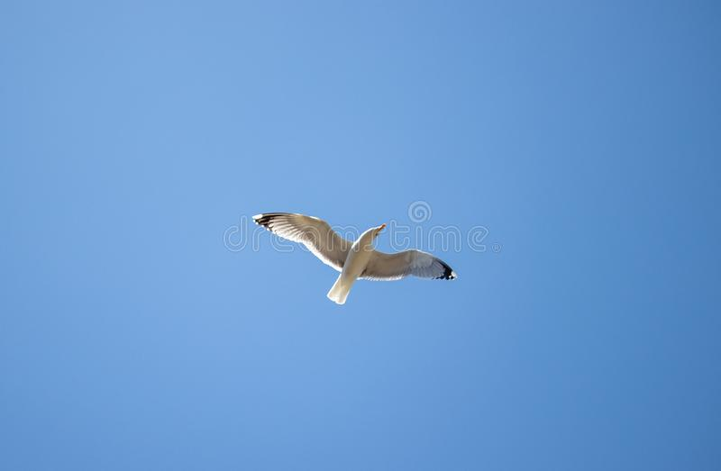 Seagull flying in the blue sky that looks in camera stock images