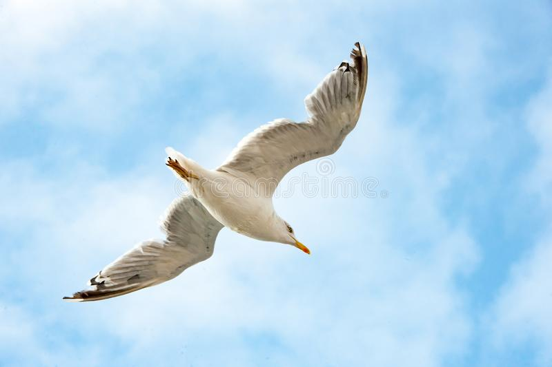 Seagull flying in blue sky over the sea, Seagull in flight royalty free stock images