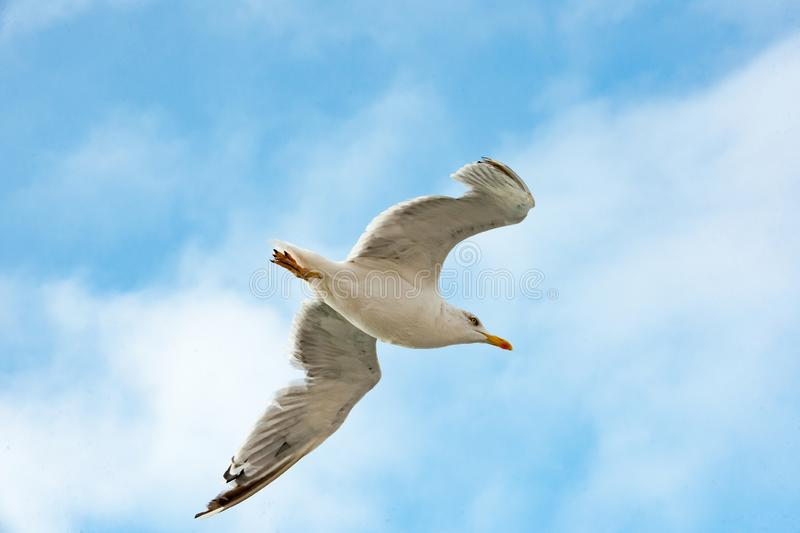 Seagull flying in blue sky over the sea, Seagull in flight stock photos