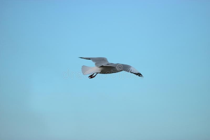 Seagull flying in the blue sky Science name is Charadriiformes Laridae . Selective focus and shallow depth of field. Seagull flying in the blue sky Science name stock images