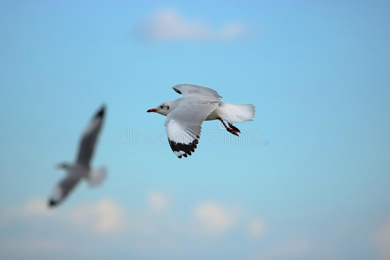 Seagull flying in the blue sky Science name is Charadriiformes Laridae . Selective focus and shallow depth of field. Seagull flying in the blue sky Science name royalty free stock image
