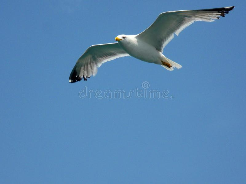 A seagull flying in the blue sky. Yellow whale gull with yellow beak royalty free stock photography