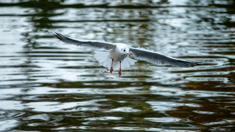 Seagull flying in the city park of Bucharest in autumn time stock image