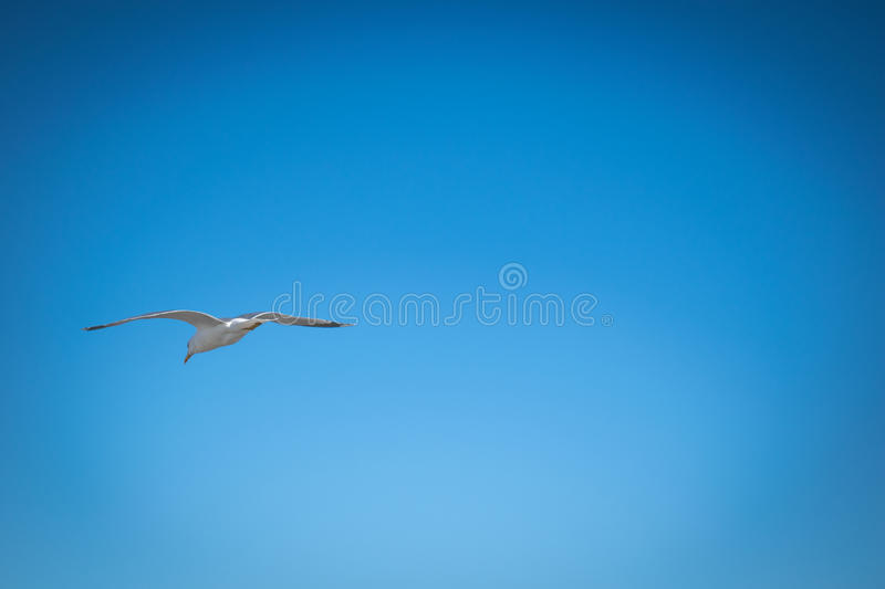 Seagull flying in the clear blue sky stock images
