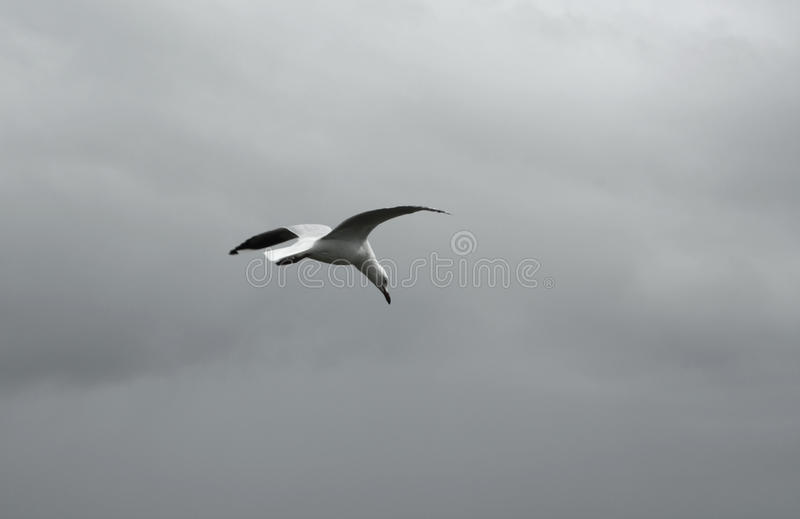 Seagull Flying in cloudy sky stock image
