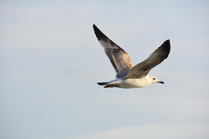Seagull flying in a cloudy sky stock image