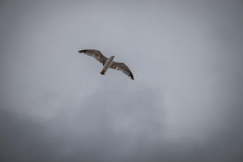 Seagull flying in a grey sky royalty free stock photos