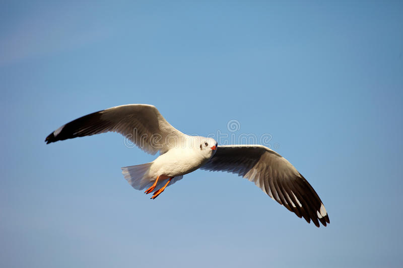 Seagull. Flying at gulf of Thailand stock photo