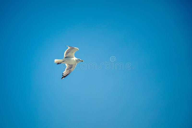 Seagull flying high in a clear blue sky royalty free stock photos