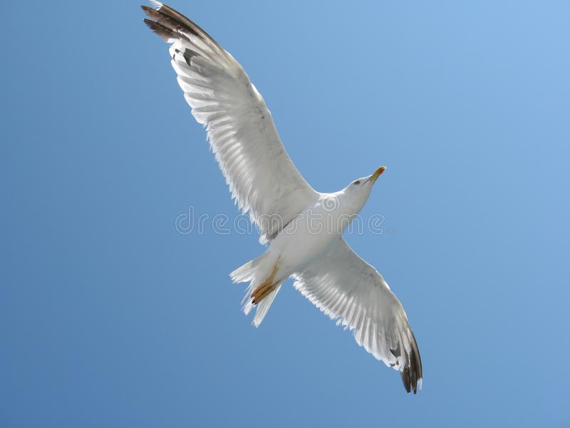 Seagull flying higher. Photo of a seagull climbing higher, against blue sky stock photos